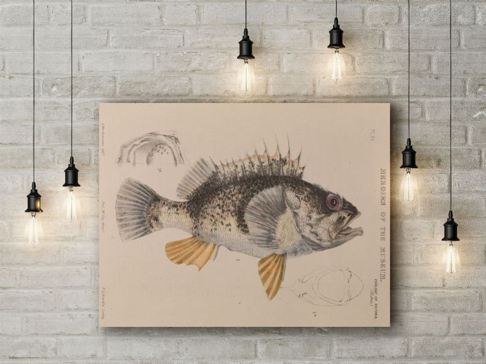 Arthur Bartholomew: Ocean Perch, Helicolenus Percoides. Fine Art Canvas.